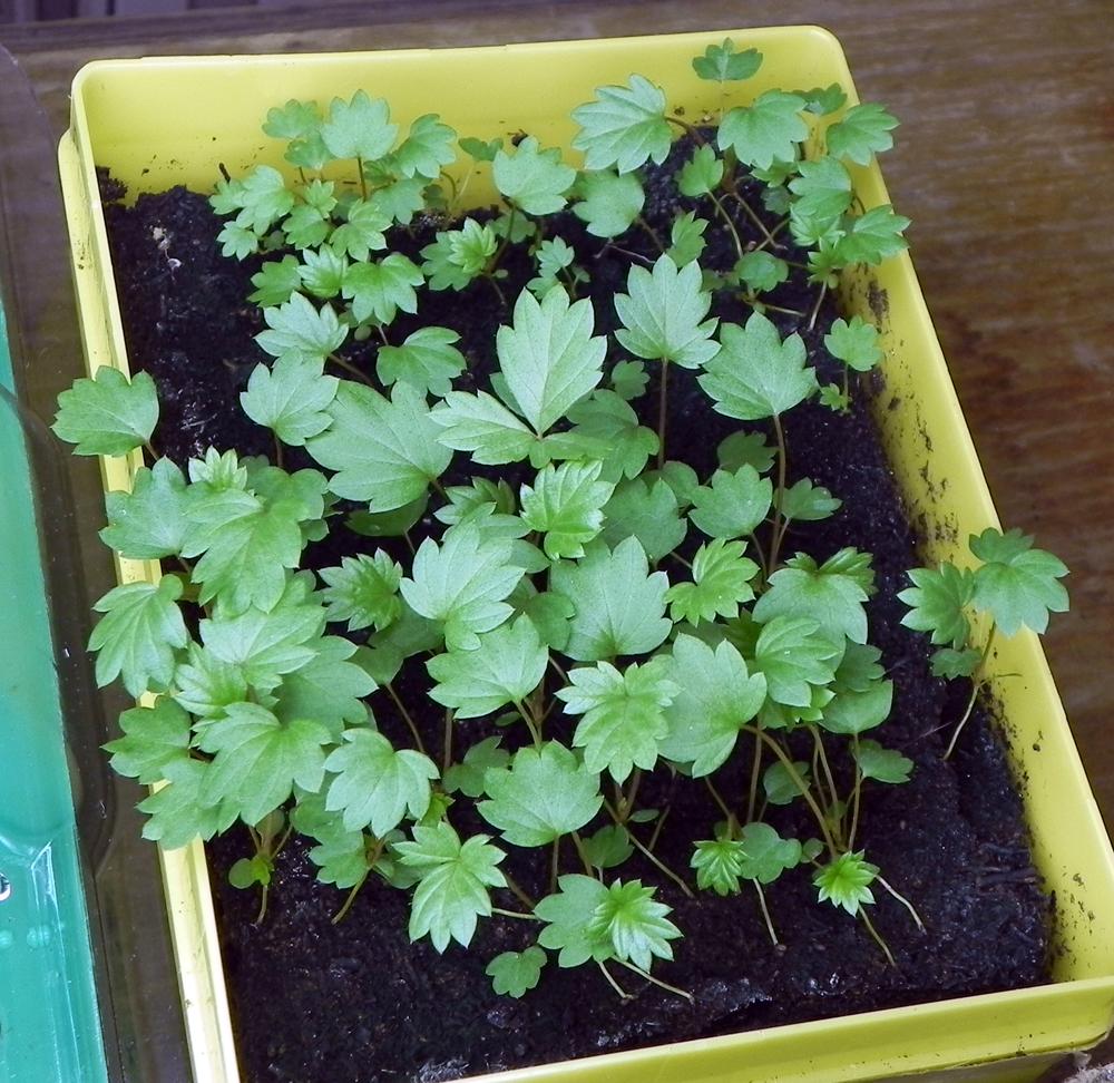Выращивание клубник из семян 805