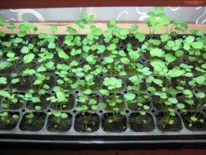Ремонтантная земляника выращивание из семян и уход