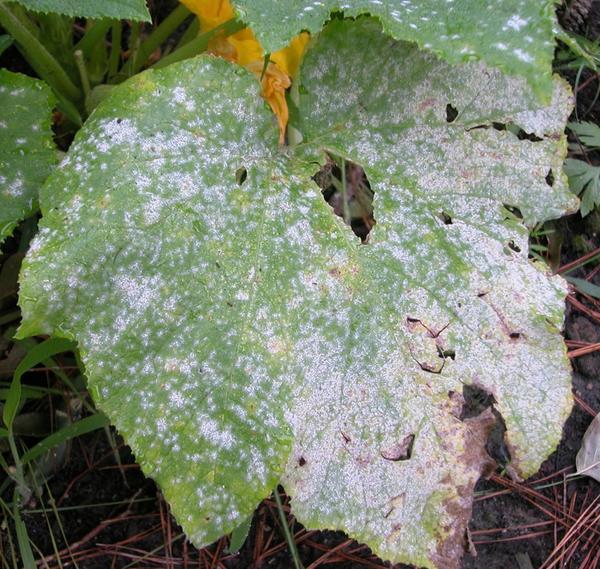 Огурцы — это всеми любимый овощ. Практически каждый овощевод выращивает его на своём участке. Трудно представить летний стол без огурцов. Выращивание огурцов дело не очень сложное, однако требует некоторых знаний и умений. Получить большой урожай огурцов можно только от здоровых растений. Однако зачастую случается по-другому — огурцы подвергаются какими-то заболеваниями. Растение сразу же начинает мало плодоносить и в скором погибает. Болезни огурцов чаще всего поражают растения, которые растут в открытом грунте. В теплице огурцы болеют значительно реже, так как там определённый микроклимат, ограниченное пространство. Огурцы подвергаются вирусными, грибковыми и бактериальными заболеваниями. Так же очень часто их поражают различные вредители. Для того, чтобы избежать заражение растений, необходимо знать о симптомах той или иной болезни, знать о мерах борьбы. Для того чтобы избежать болезней огурцов, нужно соблюдать все нормы агротехники и санитарии. В этой статье будет рассказано о самых распространённых болезнях огурцов, о мерах борьбы с ними и о симптомах. Подробно расскажем о методах лечения заболеваний. Зная эту информацию, вы сможете вылечить практически любую болезнь у своего растения. Какие заболевания огурцов в открытом грунте встречаются чаще всего Борьба с болезнями огурцов предполагает для начала выяснения причины, ее устранения, и только потом приступают к тому, чтобы лечить растения. Для предотвращения гибели всех насаждений и сохранения будущего урожая следует научиться определять наличие первых признаков поражений, научиться бороться с инфекционными процессами и нашествиями вредителей. Можно также посадить такие сорта огуречной культуры, основным преимуществом которых является устойчивость к инфекционным процессам. Нередко встречаются такие болезни, как: · Антракноз; · Белая гниль; · Серая гниль; · Мучнистая роса; · Ложная роса; · Аскохитоз; · Бактериоз. При развитии первых признаков таких заболеваний рекомендуется своевременно обрабатывать огуречный к