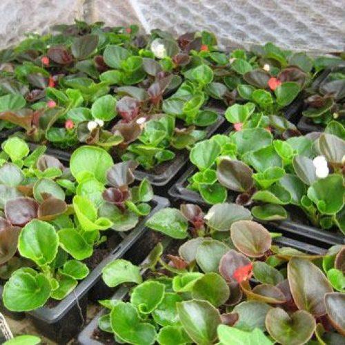 Бегония клубневая выращивание из семян в домашних условиях