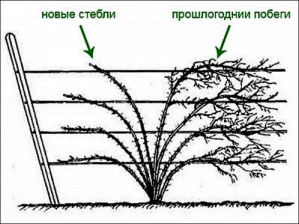 Обрезка ежевики весной: правила и схемы
