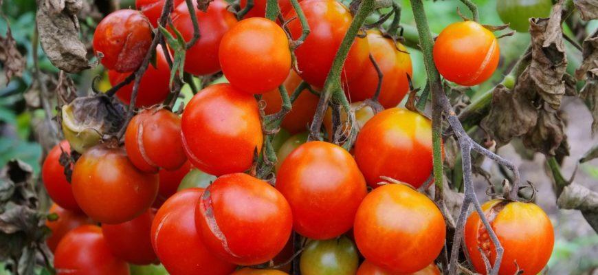 Фитофтороз томатов фото описание и лечение