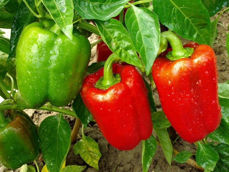 Юлия Миняева выращивание перца