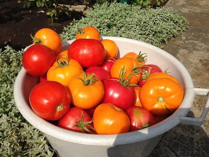 Как бороться с мучнистой росой на помидорах