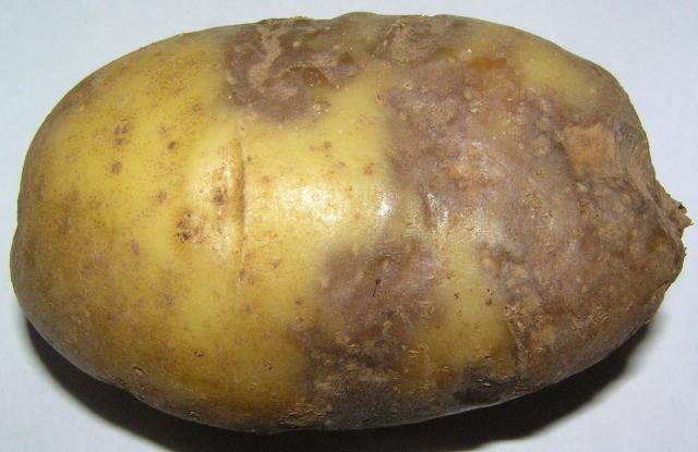 Как избавиться от фитофторы на картофеле