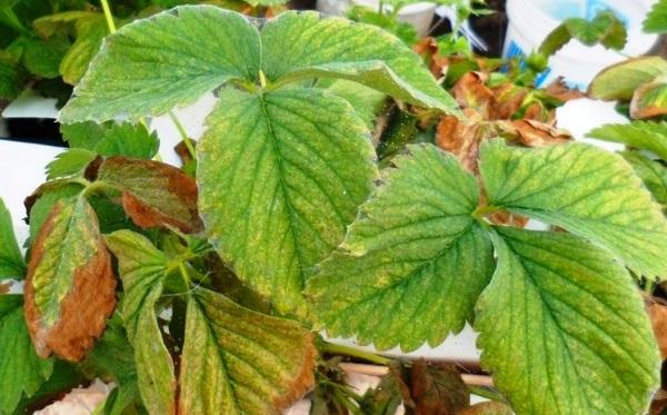 Клубника: обработка весной от вредителей и болезней