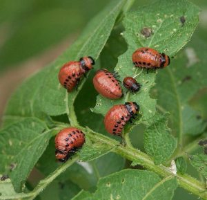 Как бороться с колорадским жуком на картофеле народными средствами