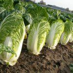 Как вырастить пекинскую капусту в домашних условиях?