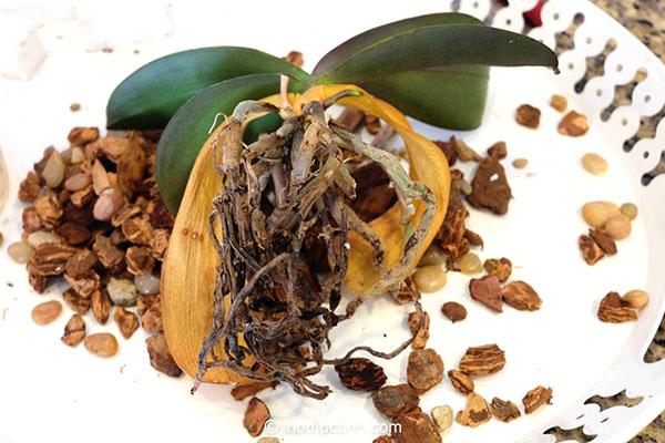 Как оживить засохшую орхидею