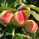 Обрезка персика весной видео для начинающих