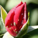 Тля на розах чем обработать