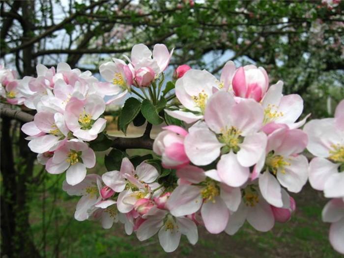 Чем удобрить яблони весной