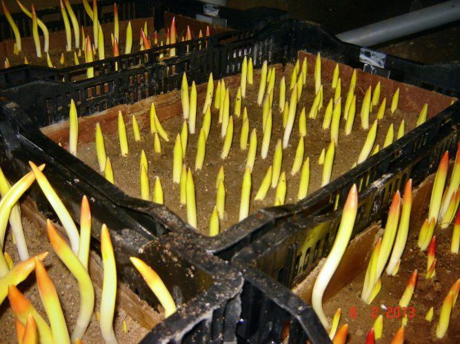 Выращивание тюльпанов в теплице к 8 марта