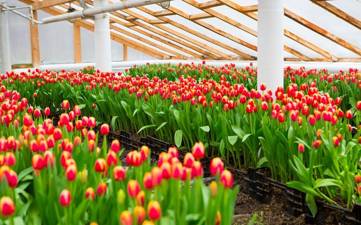 Выращивание тюльпанов в зимней теплице 67