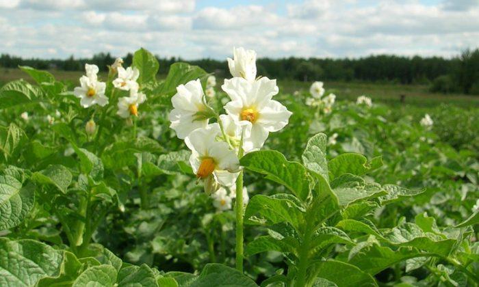 Чем обработать картофель перед посадкой от фитофторы