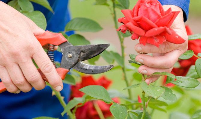 обрезка роз весной для начинающих видео ()