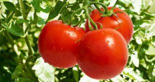 Как посадить помидоры в теплице чтобы был большой урожай