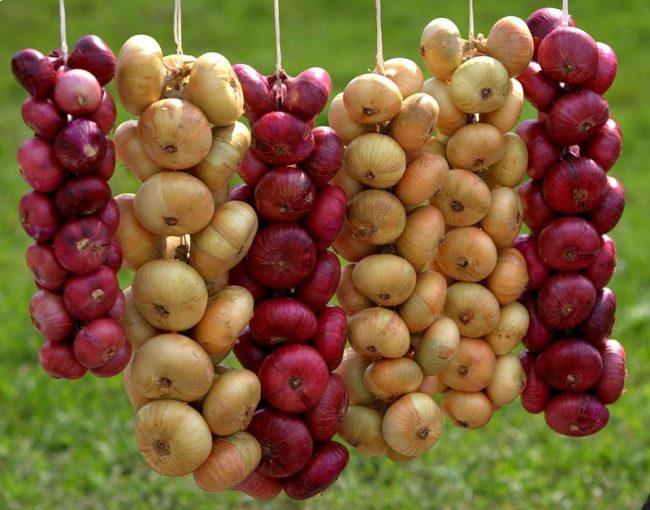 Как вырастить крупный лук из севка