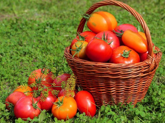 Как вырастить томаты в теплице из поликарбоната