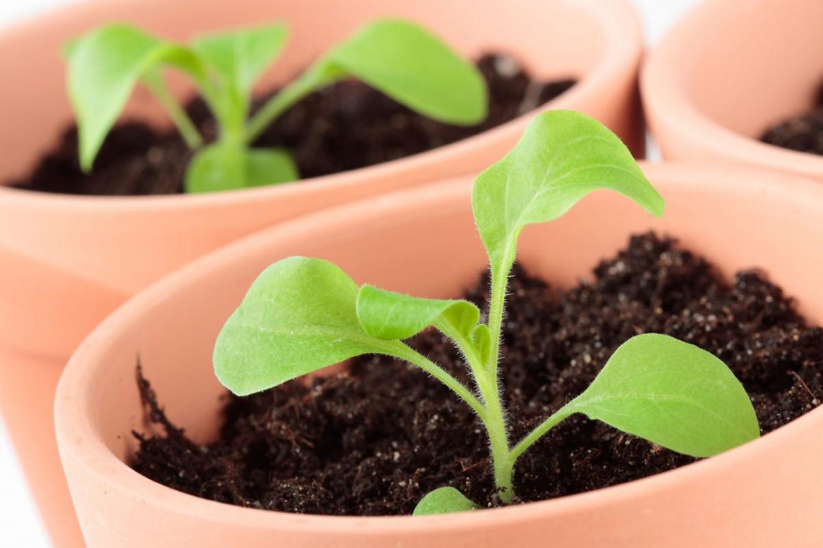 Выращивание петунии из семян в домашних условиях пошаговое фото