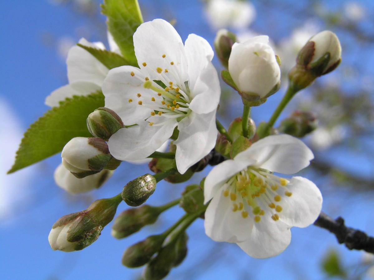Обрезка вишни весной видео для начинающих
