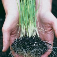 Юлия Миняева: посев лука чернушки в улитку