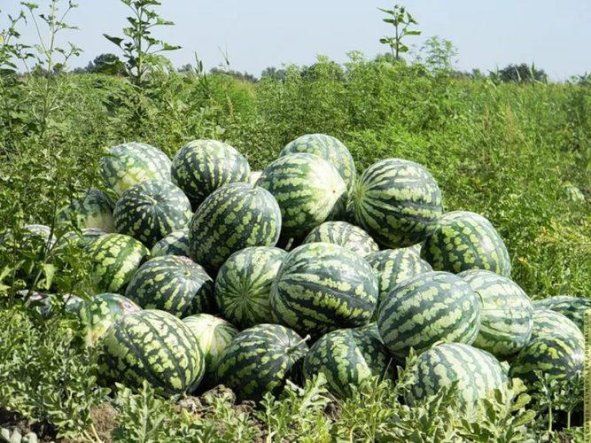Юлия Миняева: выращивание арбузов