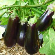 Баклажаны рассада: выращивание и уход