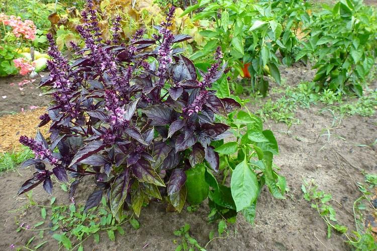 Базилик выращивание из семян когда сажать