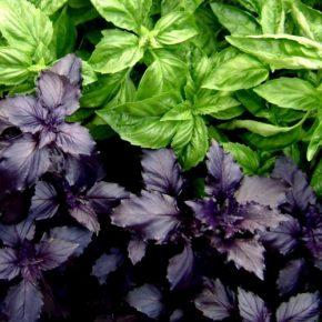 Базилик: выращивание из семян