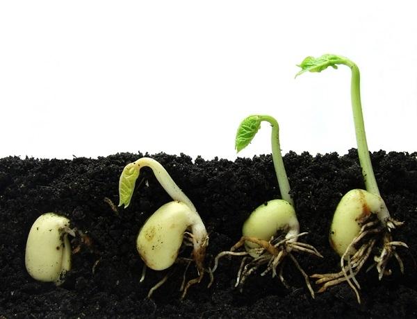 Выращивание баклажанов из семян в домашних условиях