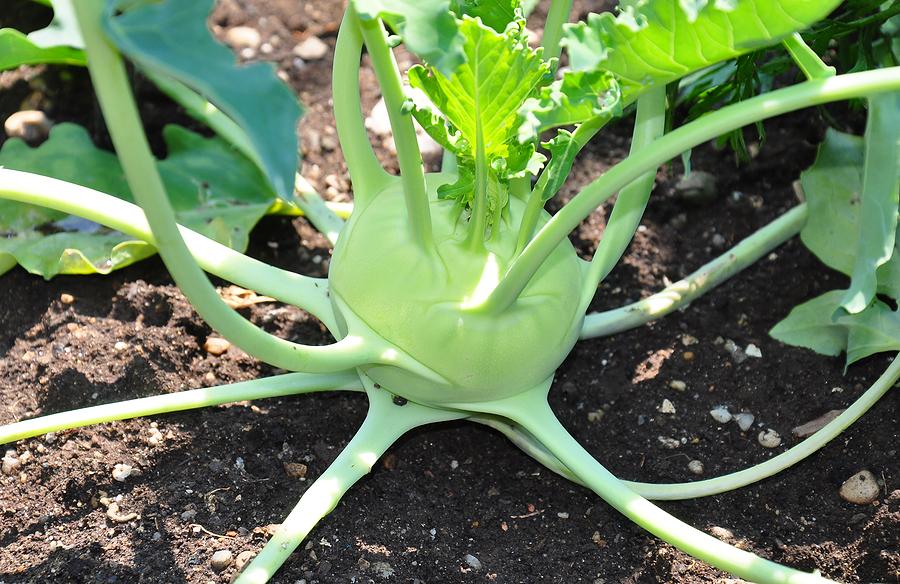 Капуста кольраби выращивание и уход