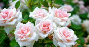Когда снимать укрытие с роз весной