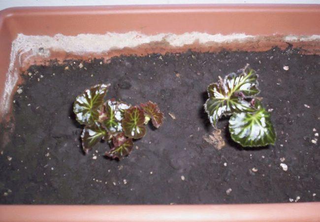 Бегония ампельная из семян выращивание