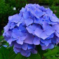 Голубая гортензия: посадка и уход