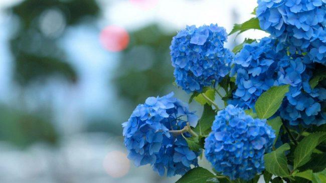 Голубая гортензия, посадка и уход