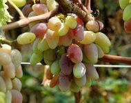 Как подкормить виноград весной?