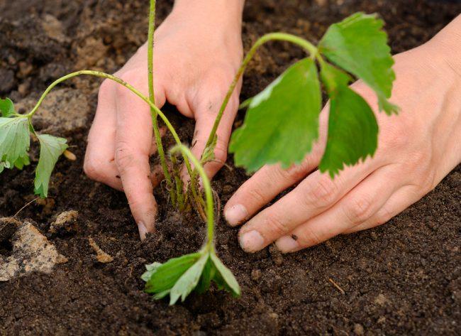 Как повысить урожайность клубники в открытом грунте