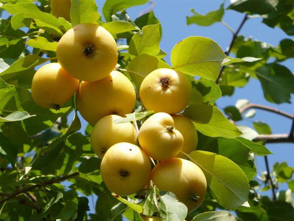 Как удобрять яблоню весной