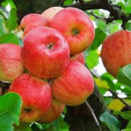 Как подкормить яблоню весной?