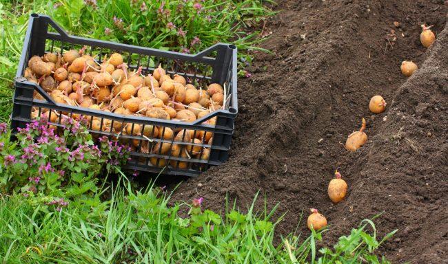Как вырастить картошку с одного куста ведро