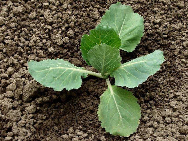 Капуста белокочанная выращивание и уход в открытом грунте