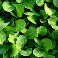 Капуста белокочанная выращивание рассады