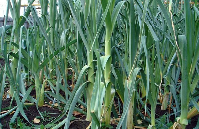 Лук порей выращивание из семян когда сажать