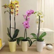 Почему у орхидеи желтеют листья и что делать?