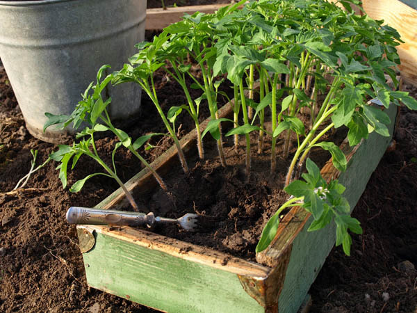 Помидоры выращивание и уход в теплице