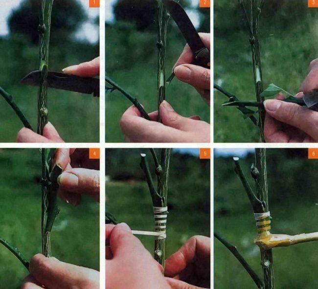 Прививка деревьев пошаговое фото