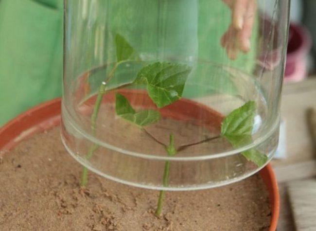 Размножение гортензии черенками весной
