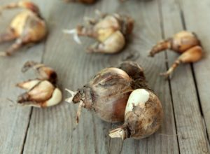 Размножение тюльпанов луковицами