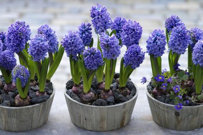 Цветы гиацинты посадка и уход
